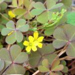 庭の砂利に咲く小さな花